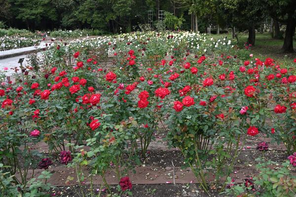 バラが咲くバラ園