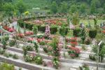 【花フェスタ記念公園】バラ園土壌改良工事〜腐植バチルス土壌改良ミックス使用事例