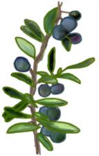 花ごころ園芸レシピ vol.71 オリーブの代表的な種類ピアクル
