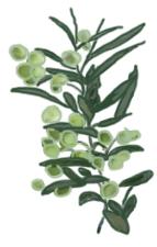 花ごころ園芸レシピ vol.71 オリーブの代表的な種類 フラントニオ