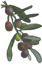 花ごころ園芸レシピ vol.71 オリーブの代表的な種類 シプレッシーノ