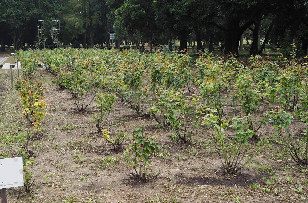 バラ園 土壌改良前