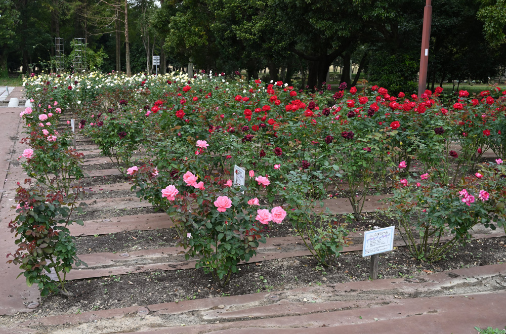 バラ園 土壌改良後
