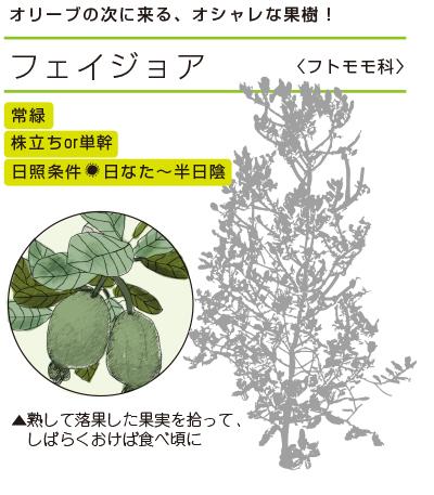 オリーブの次に来る、オシャレな果樹! ●フェイジョア〈フトモモ科〉 常緑/単幹OR株立ち/日照条件:日なた〜半日陰