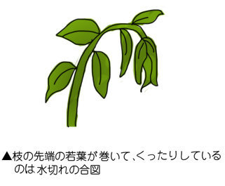 枝の先端の若葉が巻いて、くったりしているのは水切れの合図