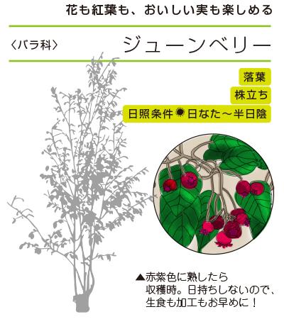 花も紅葉も、おいしい実も楽しめる ●ジューンべリー〈バラ科〉● 落葉/株立ち/日照条件:日なた〜半日陰