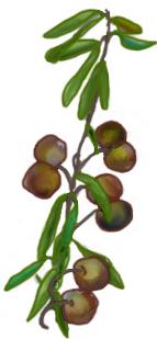 花ごころ園芸レシピ vol.71 オリーブの代表的な種類 マンザニロ