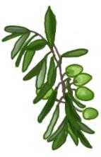 花ごころ園芸レシピ vol.71 オリーブの代表的な種類 ミッション