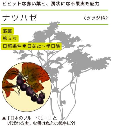 ビビットな赤い葉と、房状になる果実も魅力 ●ナツハゼ〈ツツジ科〉● 落葉/株立ち/日照条件:日なた〜半日陰