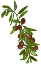 花ごころ園芸レシピ vol.71 オリーブの代表的な種類 ネバディロ・ブランコ