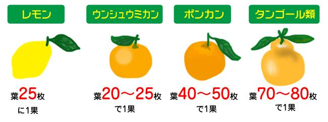 柑橘類 葉数に合った適切な実の数