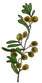 花ごころ園芸レシピ vol.71 オリーブの代表的な種類 ルッカ