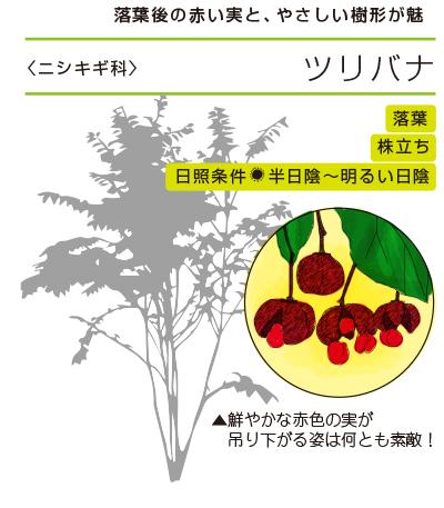 落葉後の赤い実と、やさしい樹形が魅力 ●ツリバナ〈ニシキギ科〉 落葉/株立ち/日照条件:半日陰〜明るい日陰