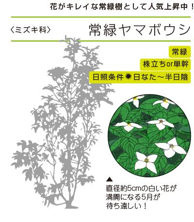 花がキレイな常緑樹として人気上昇中!  ●常緑ヤマボウシ〈ミズキ科〉● 常緑/株立ちOR単幹/日照条件:日なた〜半日陰