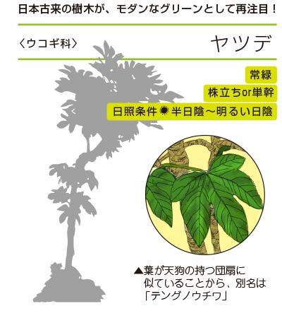 日本古来の樹木が、モダンなグリーンとして再注目! ●ヤツデ〈ウコギ科〉 常緑/単幹/日照条件:半日陰〜明るい日陰
